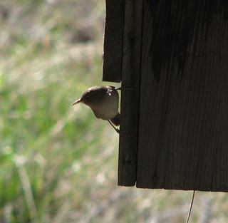 5-14-09 house wren_small 008