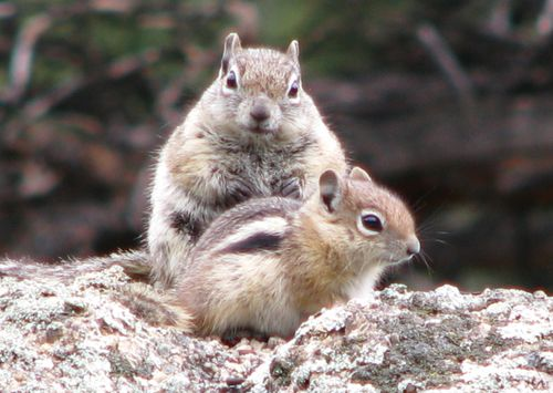Mom and baby ground squirrel