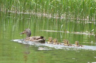 6-24-09 Lily Lake mallards_cropped 053