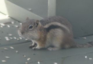 Ground squirrel cropped 3-3-10 019