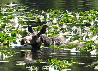 Moose cropped, June 2010 064