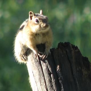 Ground squirrel cropped. 8-10. 002