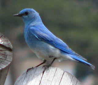 Mountain bluebird cropped. Black Canyon Trail, RMNP 5-25-10 045