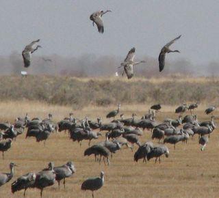 Cranes cropped4