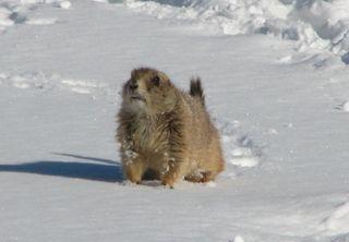 Prairie dog cropped Wonderland Lake trail, Feb. 10 022