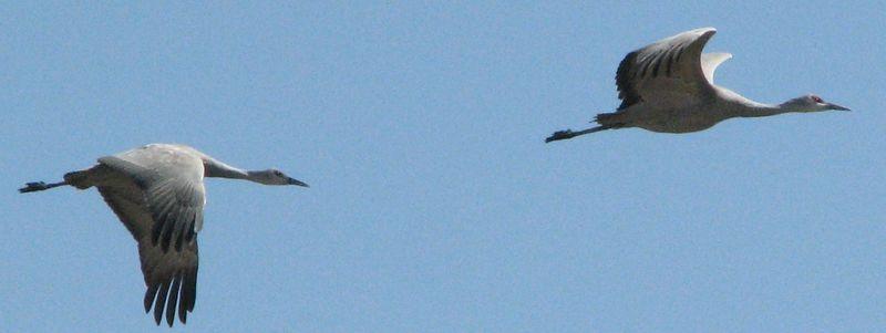 Cranes cropped2 048