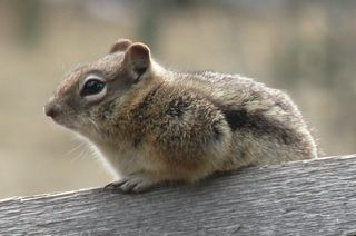 Ground squirrel cropped. 005