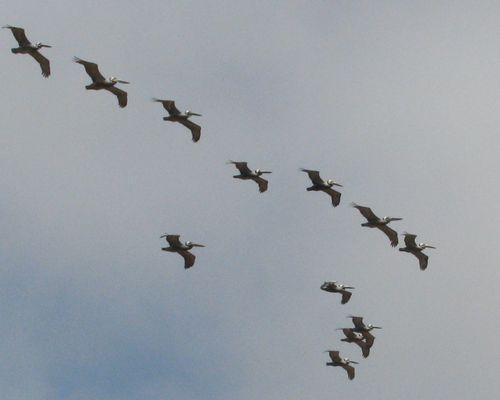 Pelicans cropped1 April 2011 076