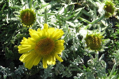 RMNP July 2011 sunflower cropped 2 040