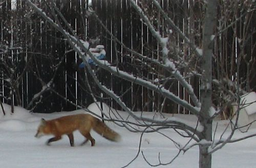 Fox cropped 2-8-12 027