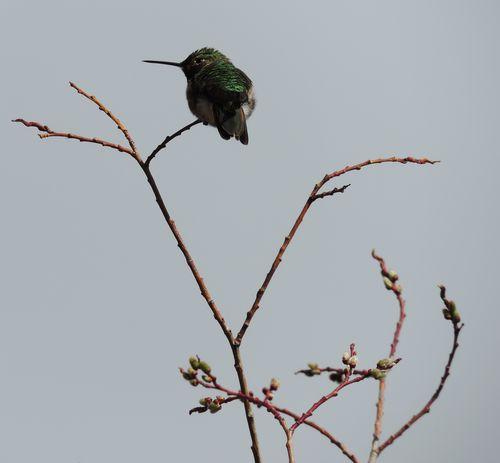 5-13-15 020.humingbird