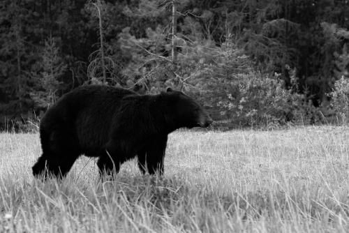 Black-bear-1019063_1280