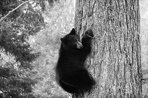 Bear-51106_640 (2)