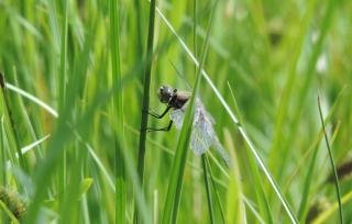 6-15-18 dragonfly  DSCN9529