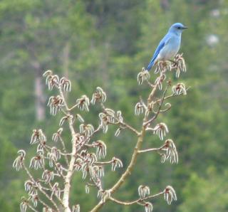 4-11-12 bluebird  001