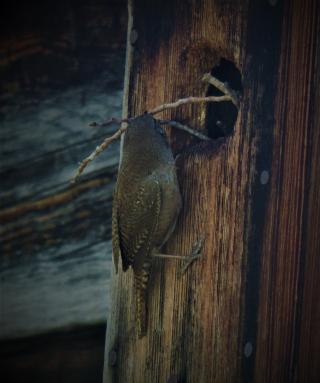 House wren2 DSCN5372