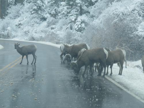 11-24-20 bighorn sheep P1020281